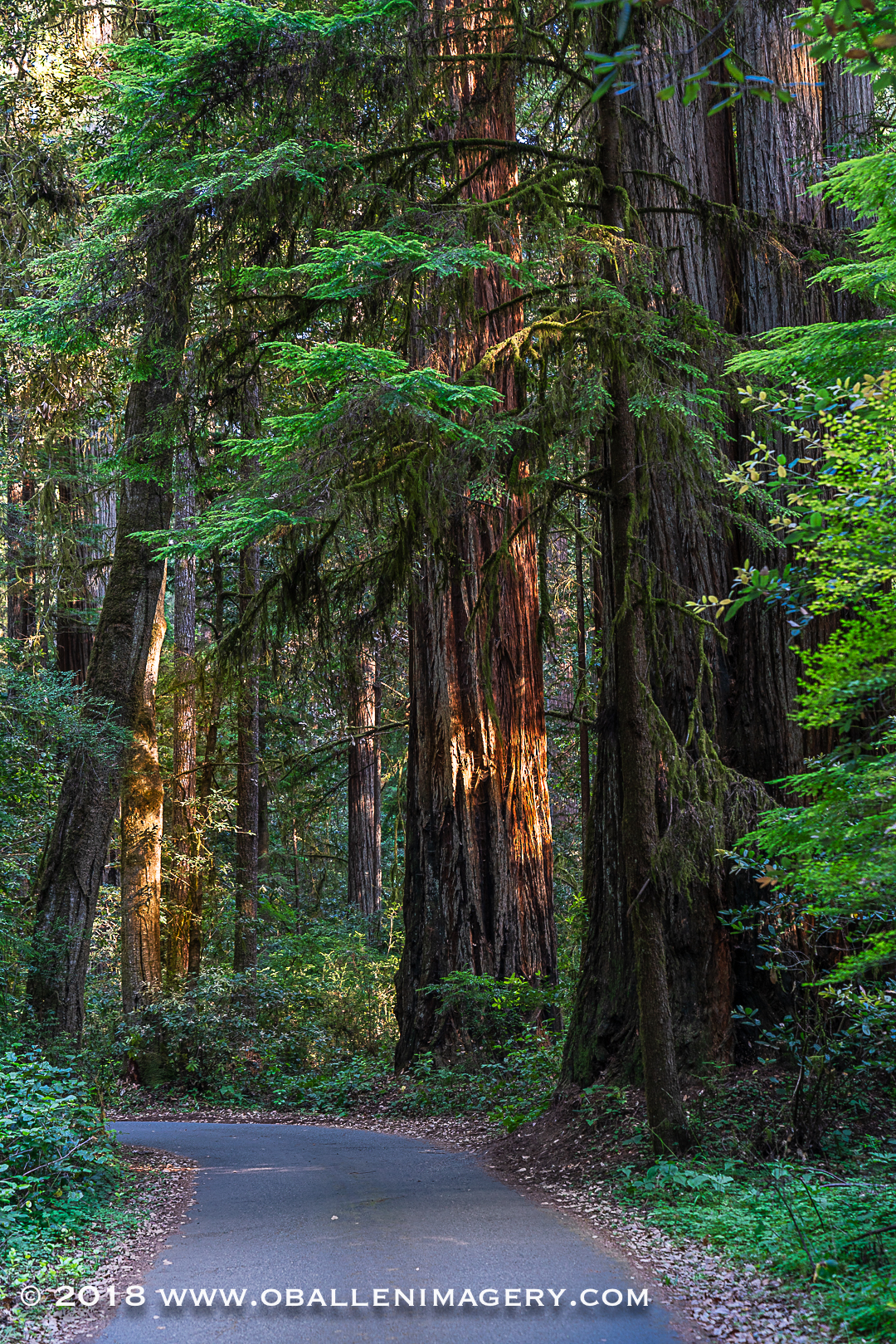 Redwoods-14.jpg