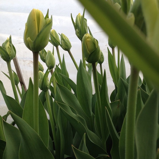 Долгожданные #rozmaiflowers #flowers #tulips #localflowers #flowerfarm #kiev #spring