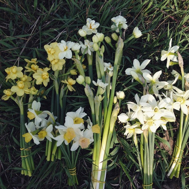 Наша маленькая коллекция #narcissus #seasonflowers #rozmaiflowerfarm