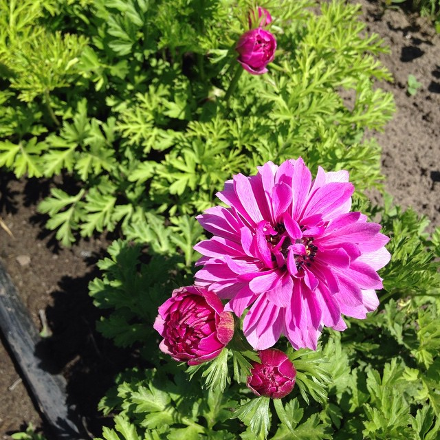 Дождались)) #anemone #rozmaiflowerfarm #localflower #kiev