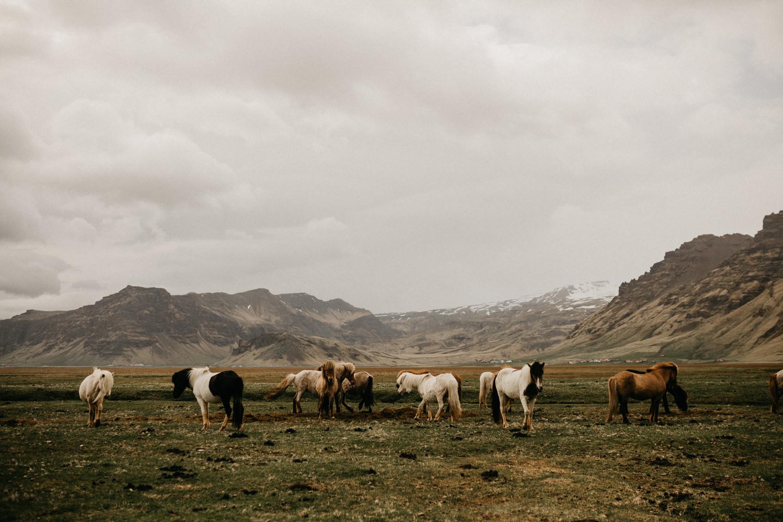 herd of wild icelandic horses