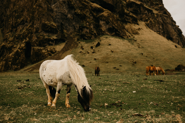 wild horses iceland