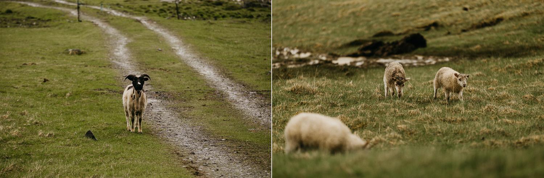 iceland engagement wedding photographer goats.jpg