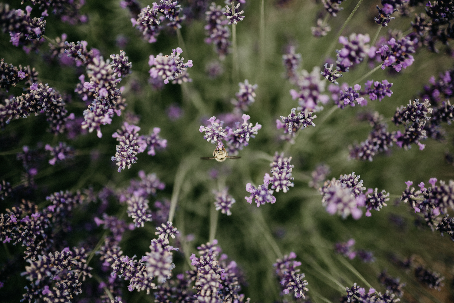 bees and lavender at Bird's Eye Cove wedding, Vancouver Island