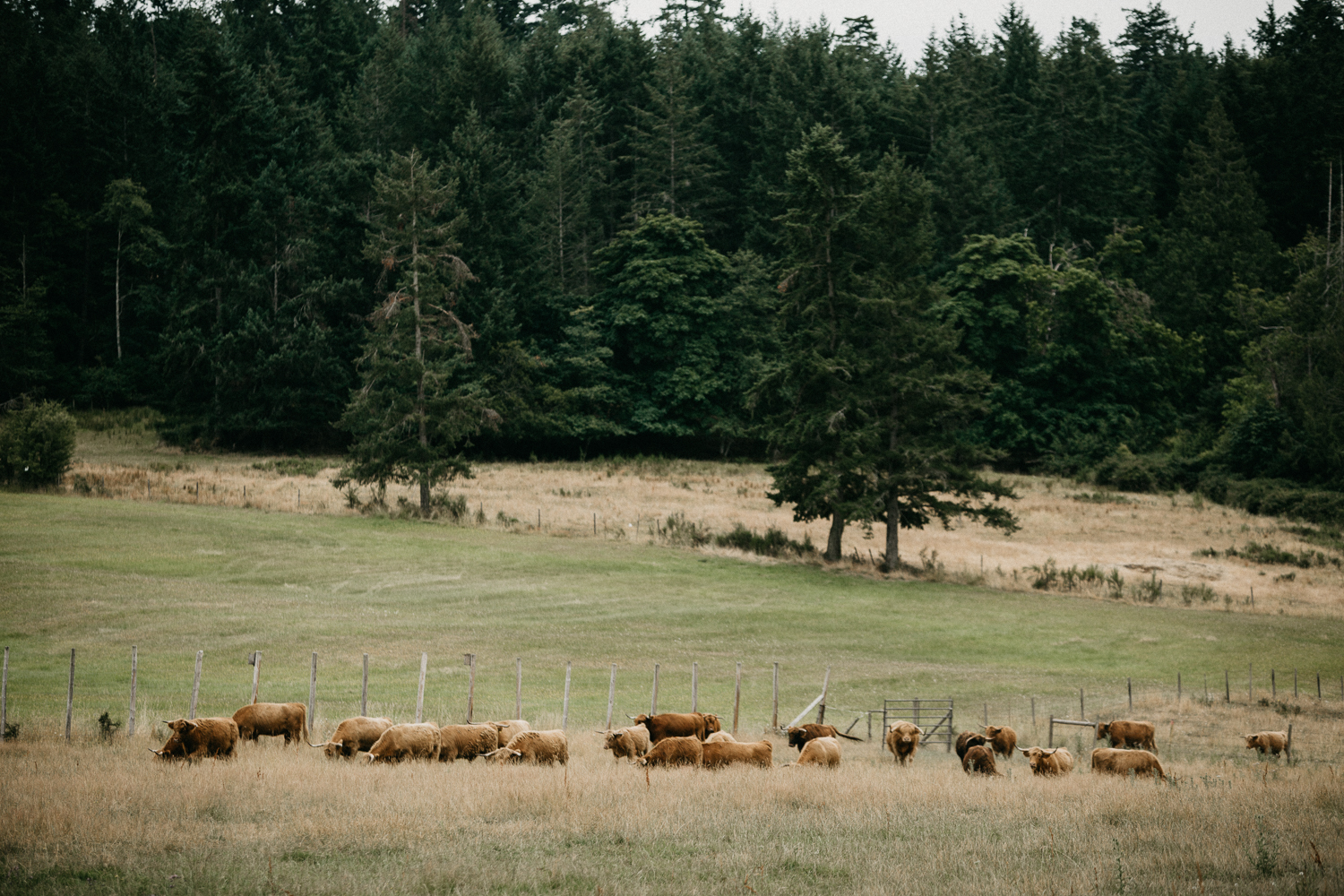 cows in a field at Bird's Eye Cove wedding, Vancouver Island