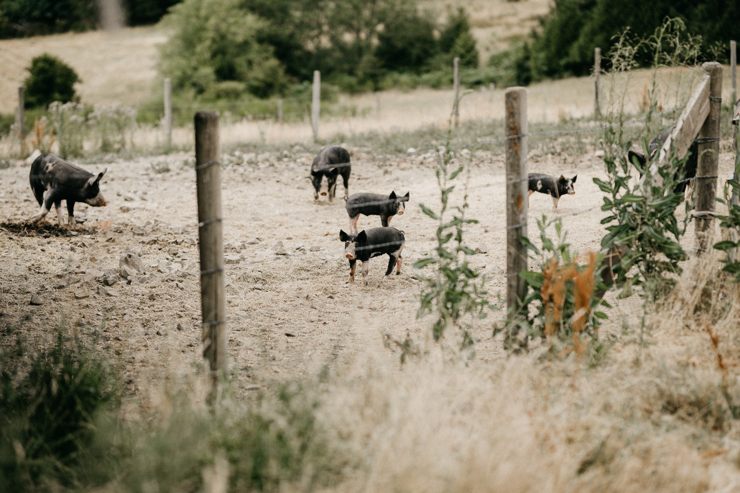 pigs in a pen at Bird's Eye Cove wedding, Vancouver Island
