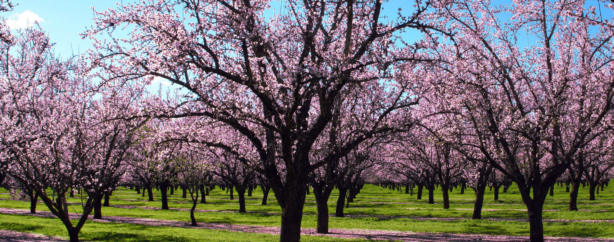Fruit-bearing Almond Trees.  Source: www.fruit-crops.com