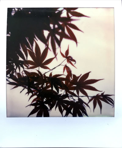 Maple (Polaroid SX-70 and Impossible Project colour film)