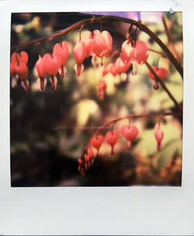 Bleeding hearts (Polaroid SX-70 and Impossible Project colour film)