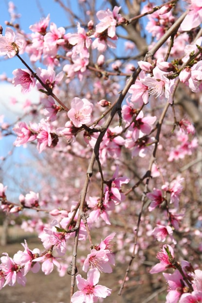 fiore-di-pesco-min.jpg