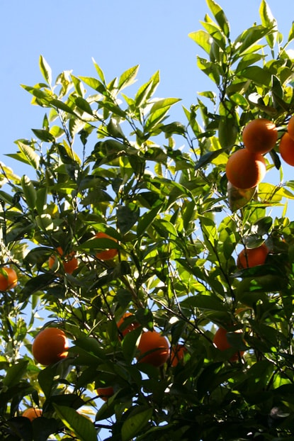 orange-tree-min.jpg