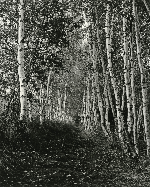Birches, Acadia 2013