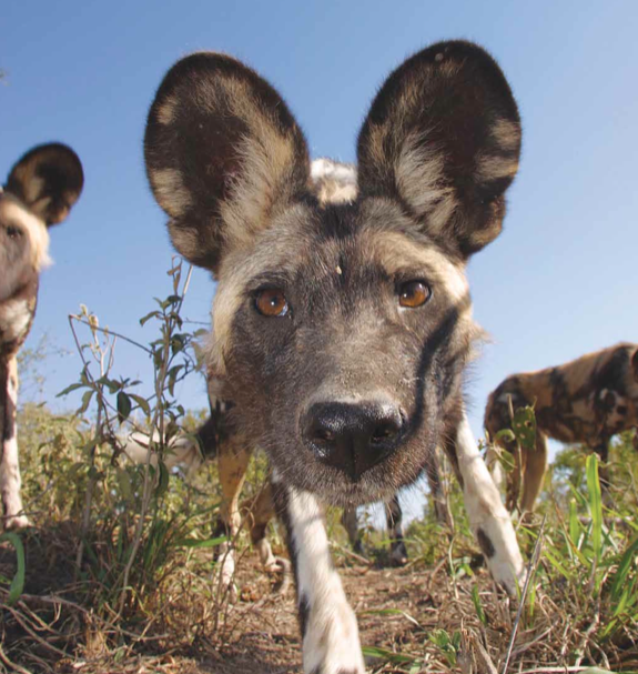 Wild dogs jpeg.png