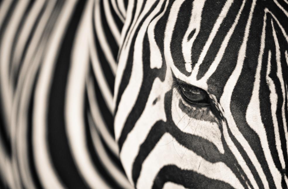 close up zebra - low res.png