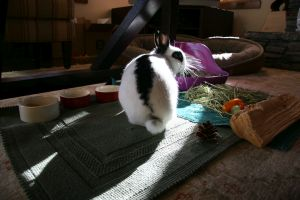 Bunnies needs to chew on tough grasses like hay,wood and pinecones to keep their teeth healthy.