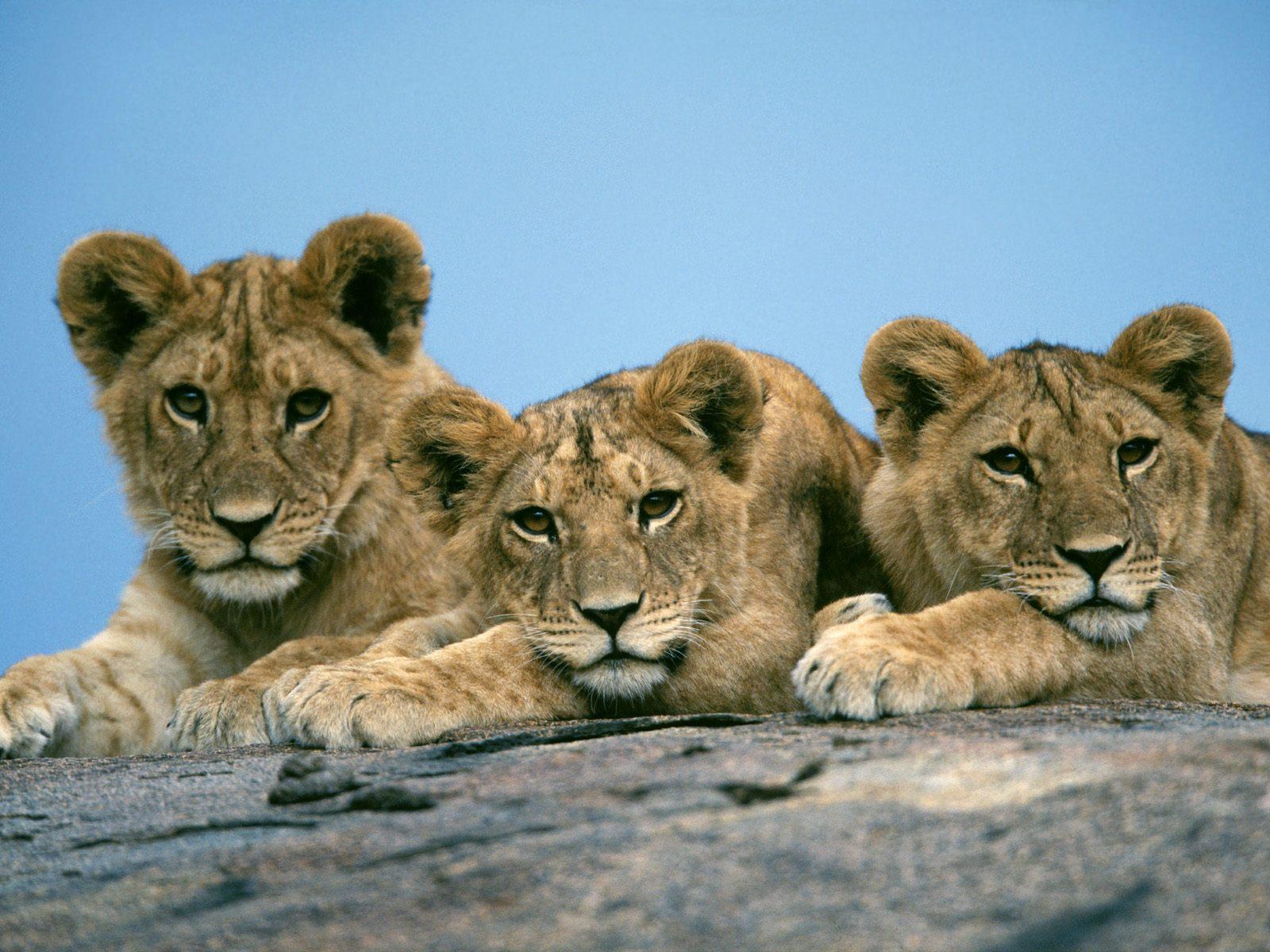 Masai Lions