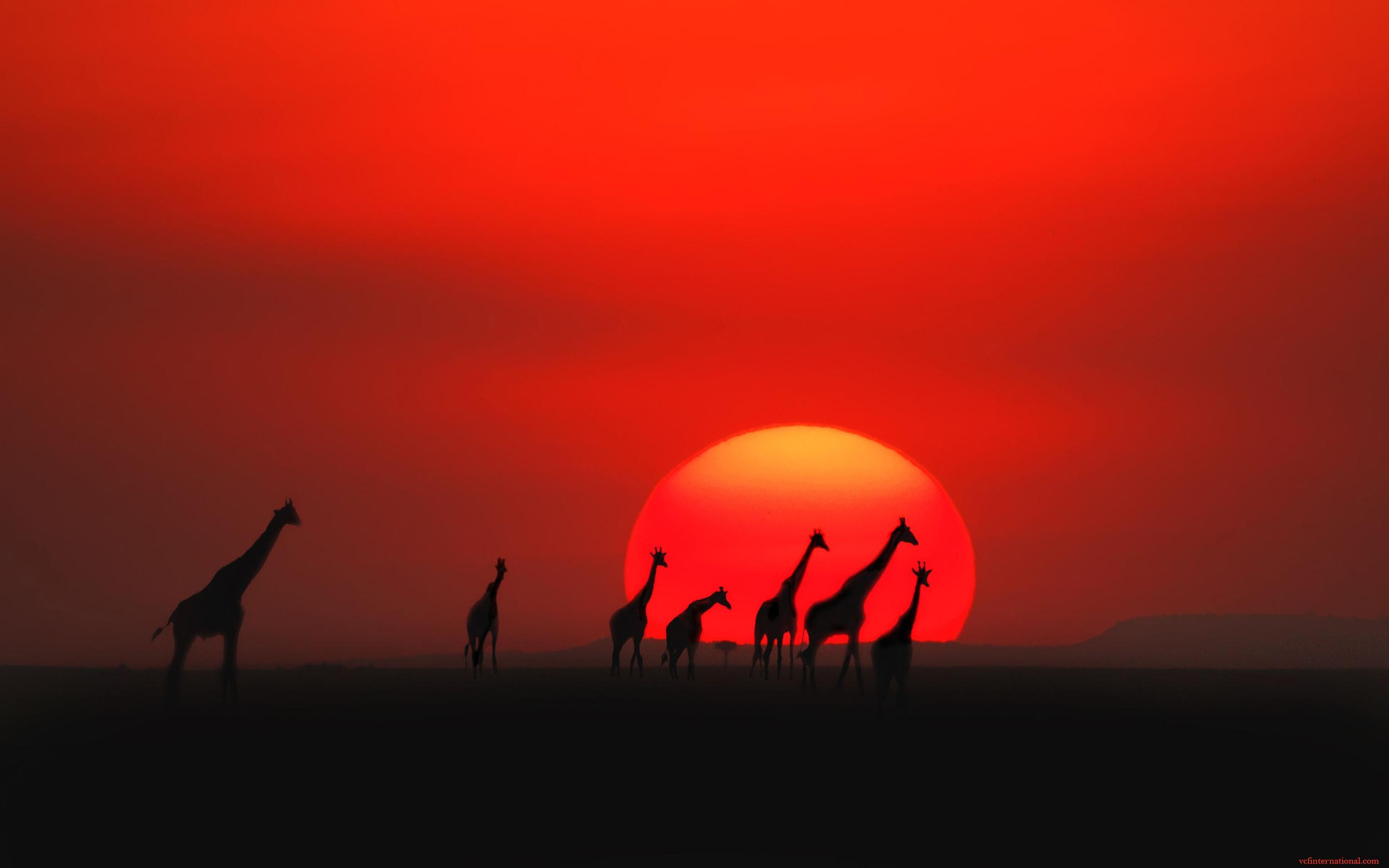 Sunset Giraffes