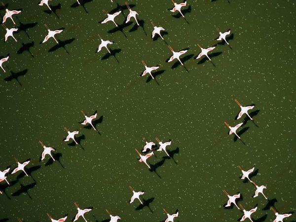 Flamingos crossing Lake Magadi