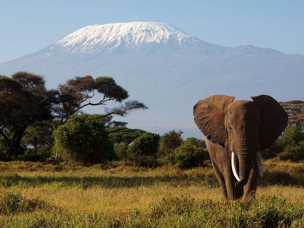 African Elephant and the big Mount Kilimanjaro