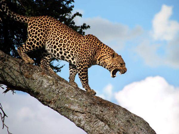 Leopard: Big 5's sprinter