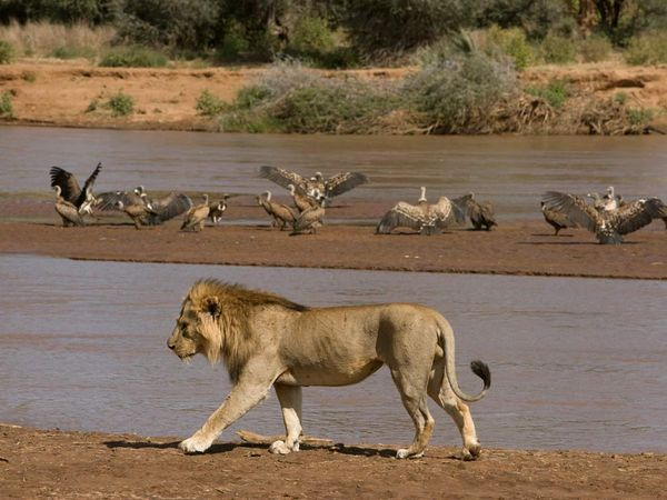 The King: The African Lion
