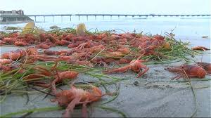 OB Pier Dog Beach Tuna Crabs