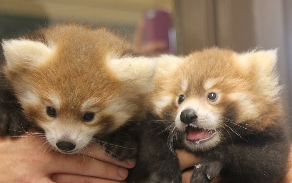Loofah and Doofah made their first public appearances at International Red Panda Day. Photo Credit: Maria Simmons.