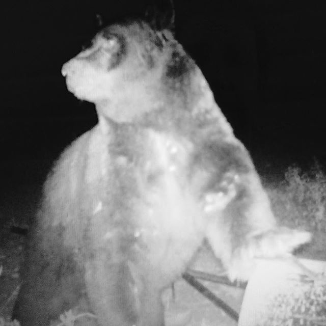 This massive bear looks guilty. He knocked over a 55 gallon barrel - and is standing on it. (Taken on game cam near Black Mesa.)