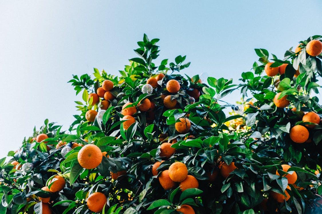 Meyer Lemons and Fenced-In Backyards