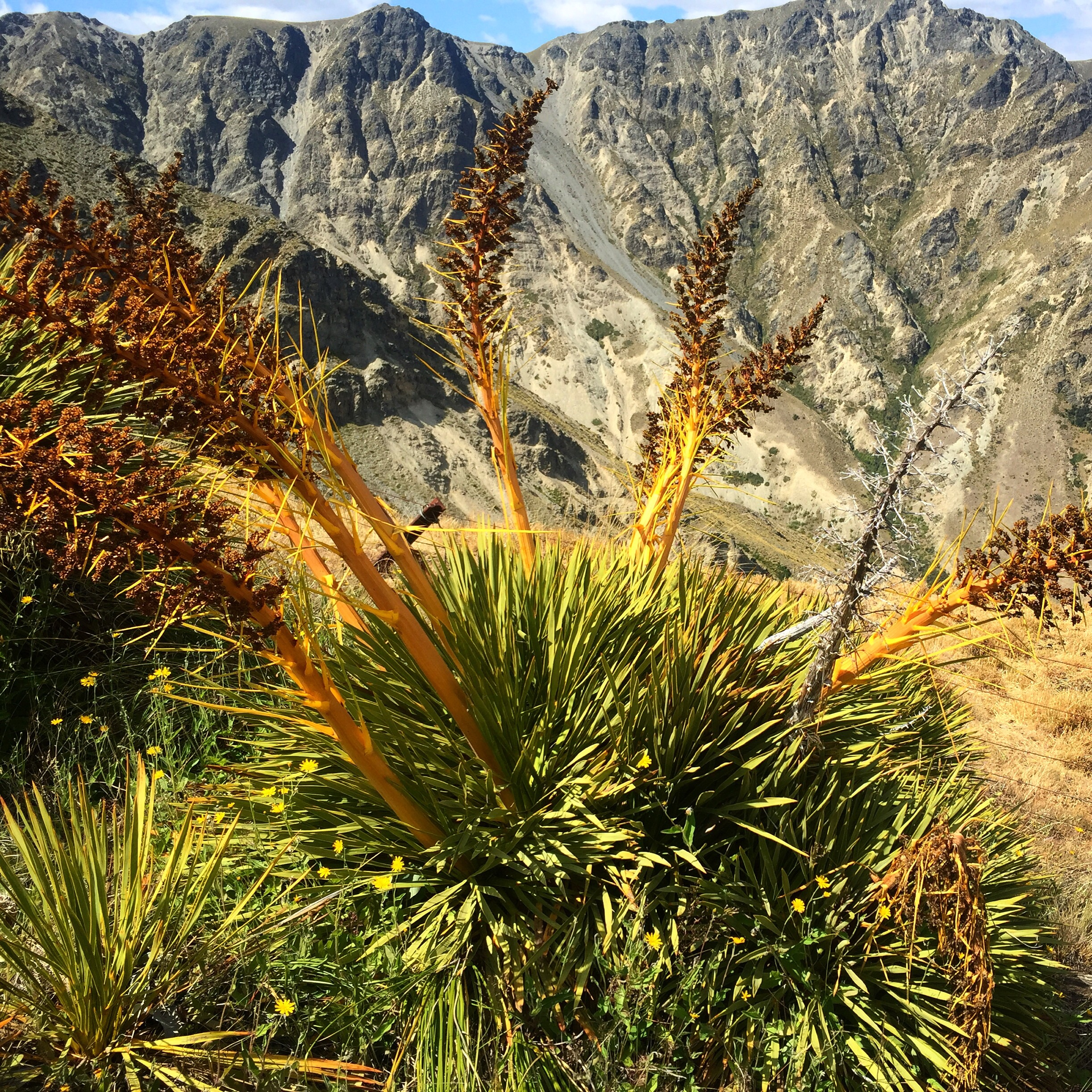 A  ciphylla colensoi   is a species of  Aciphylla , commonly known as   Speargrass   or   Spaniard  . Individual plants may be up to 90 cm (35 in) in diameter and half as high, and consist of sharp spines, all pointing out from the centre. It has caused many Te Araroa hikers to cry in pain. - Wikipedia