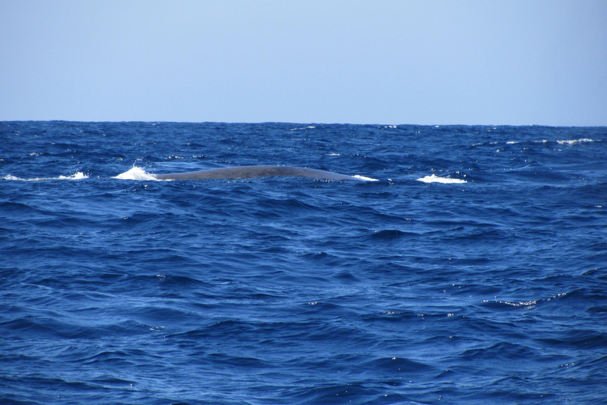 Blue Whales San Diego