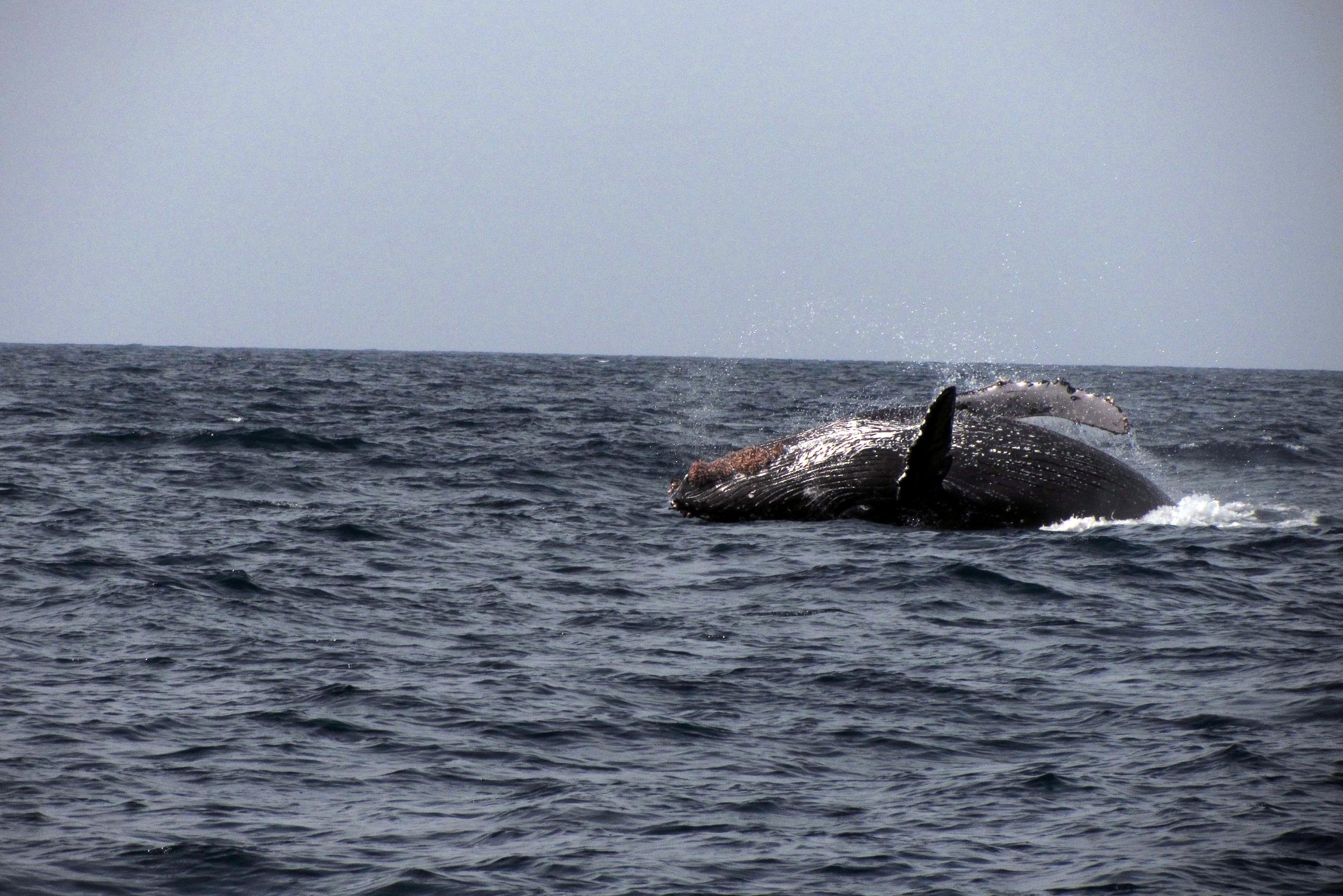 Breaching Humpback in San Diego