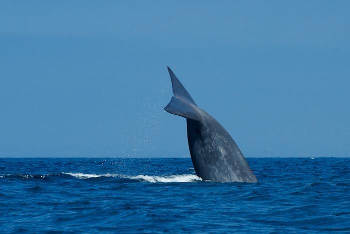 Blue Whale Deep Dive San Diego