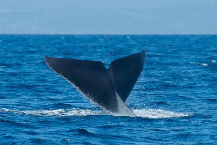 Blue Whale San Diego