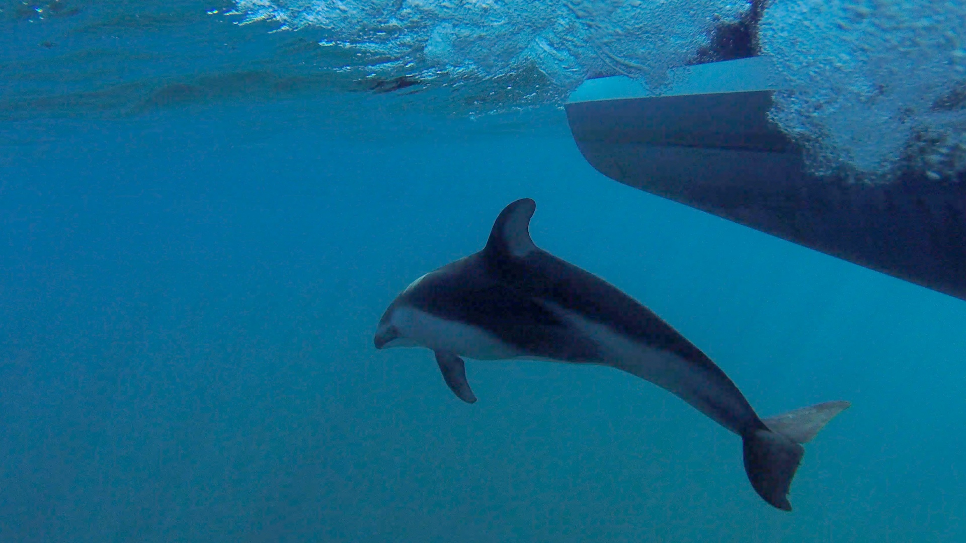 Pacific White-Sided Dolphin Riding The Bow