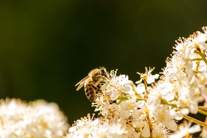 Φωτογραφία μέλισσας που μαζεύει γύρη από λουλούδι.