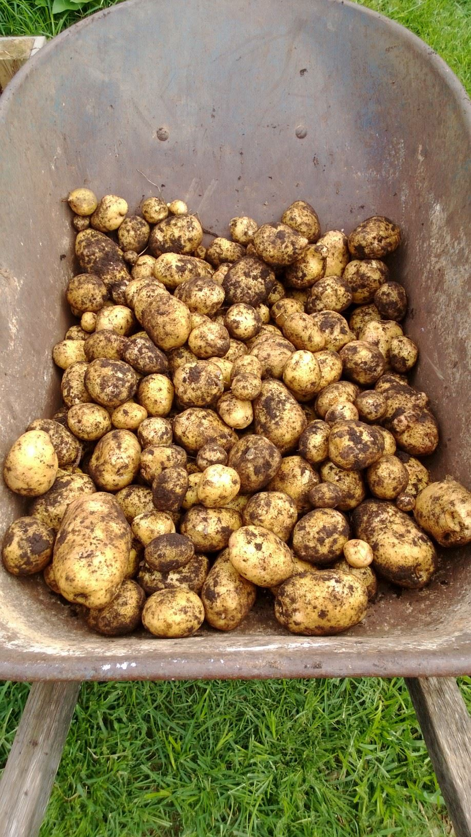 IMAGE DESCRIPTION:  A wheelbarrow full of freshly-picked, dirt-covered golden potatoes!