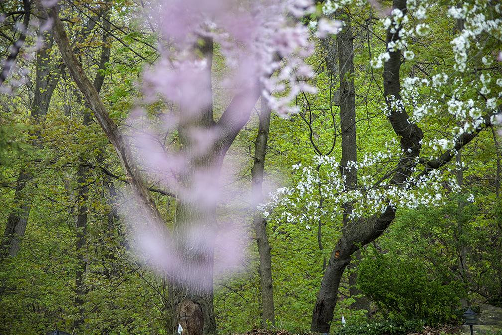 Cherry tree_Chris'.jpg