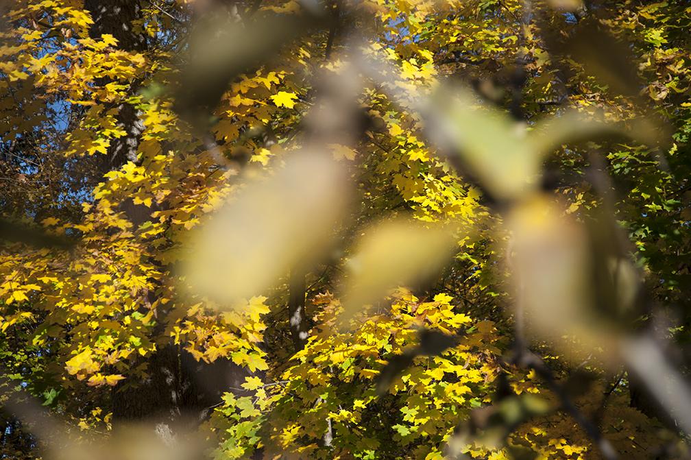 Yellow Maple_focus.jpg
