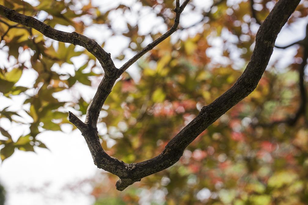 Japanese maple branch.jpg