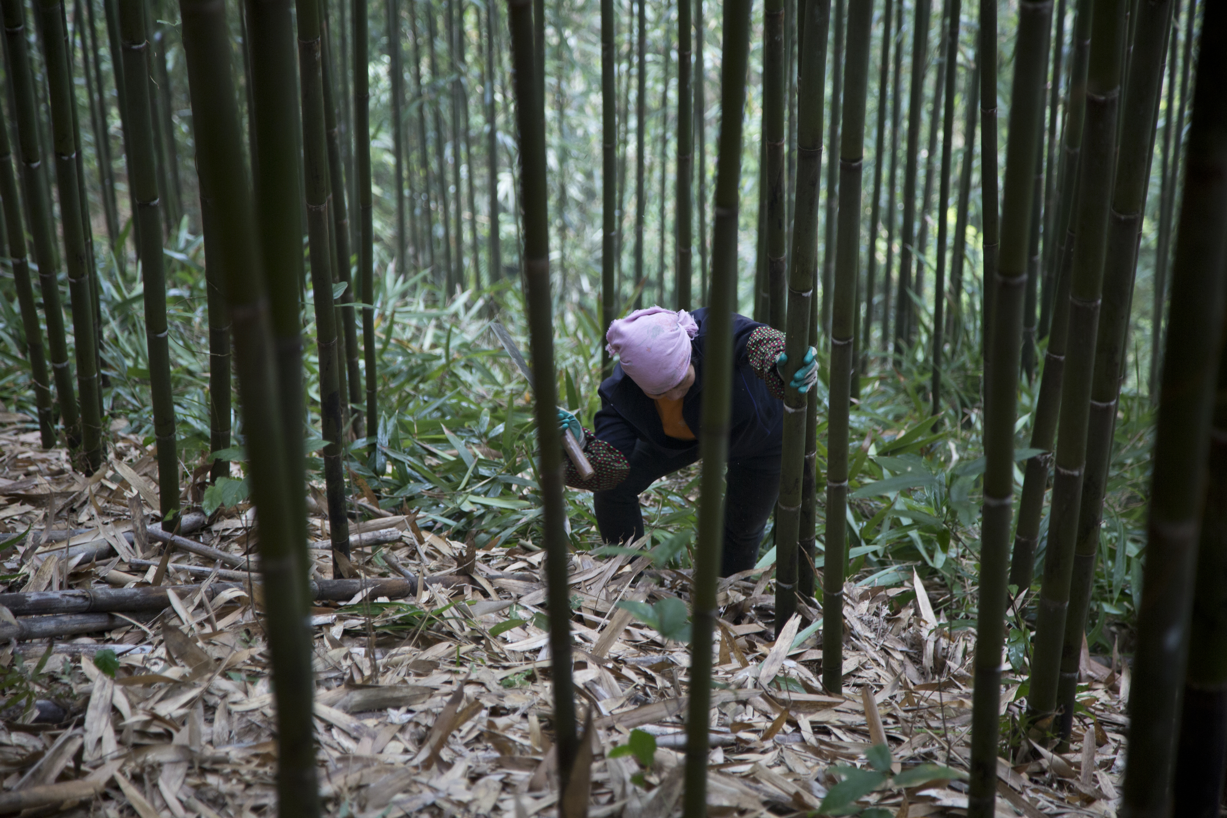 labor_cutting_bamboo.jpg