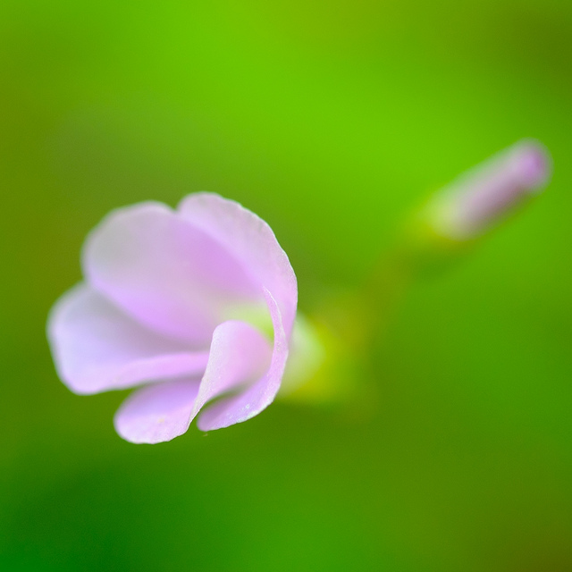 Macro photo of a small flower at the UT arboretum. Shot using a Fuji XF 60mm f/2.4 Macro lens. Only the edge of the petals closest the lens are in sharp focus.