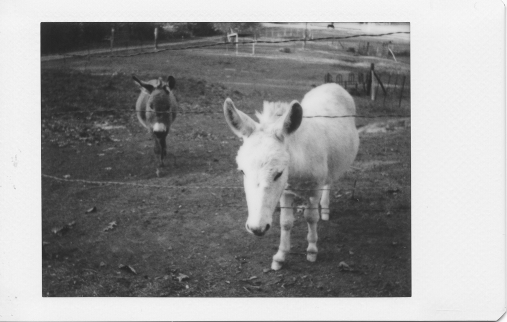 Miniature donkeys, converted to grayscale mode using GIMP. It's only when you see the image devoid of its default color that the cyan tint becomes obvious.