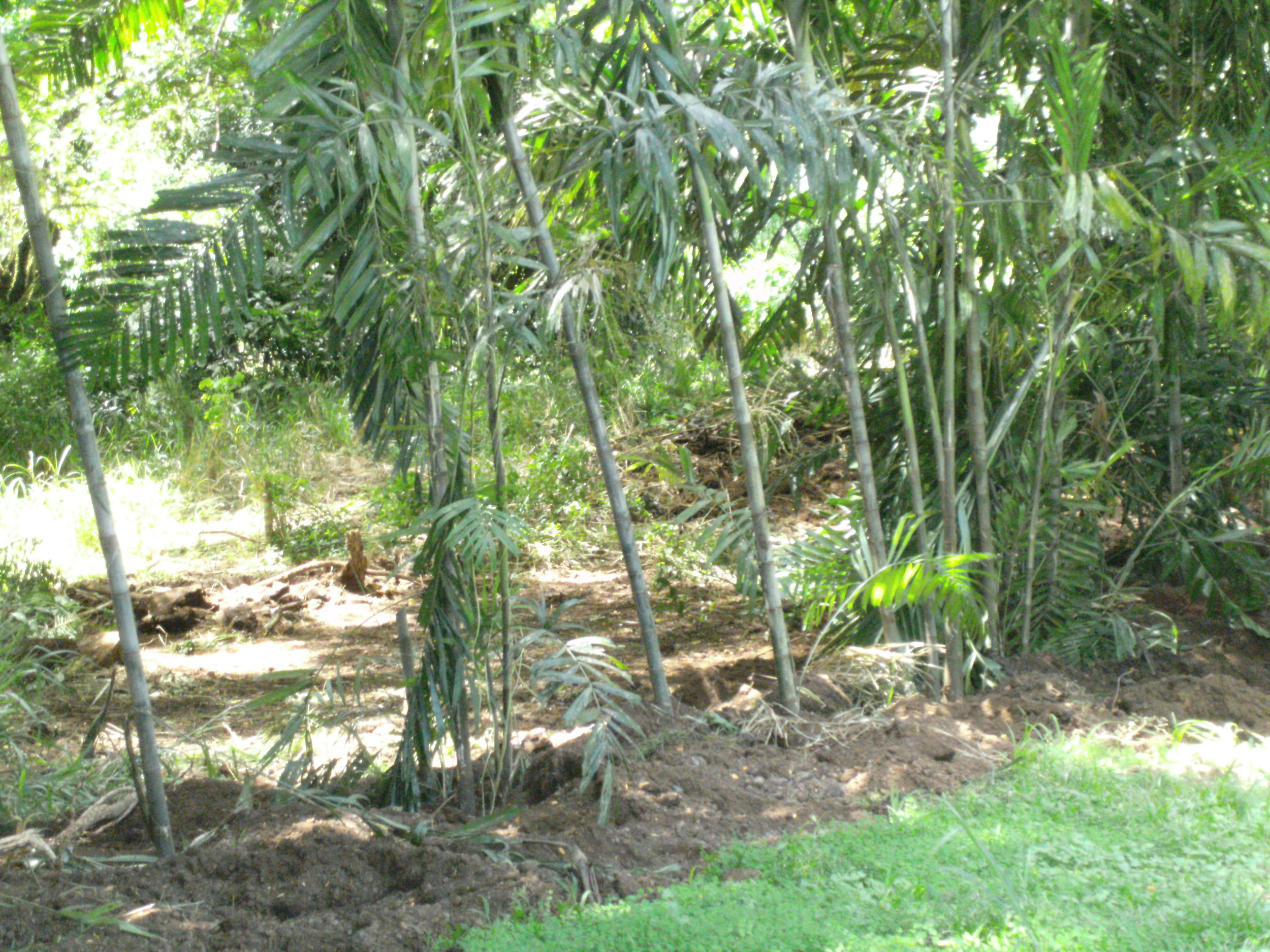 Several of the palms in their new homes as a border planting.
