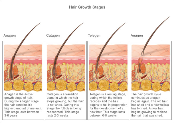 hair_growth_stages.jpg