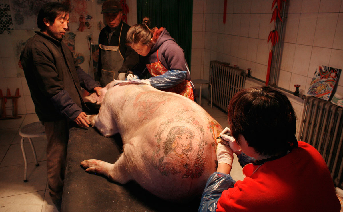 """Workers at the """"Art Farm"""" of Belgian artist Wim Delvoye in Beijing on November 20, 2008. Local farmers raise pigs and professionals tattoo them under Delvoye's instruction."""
