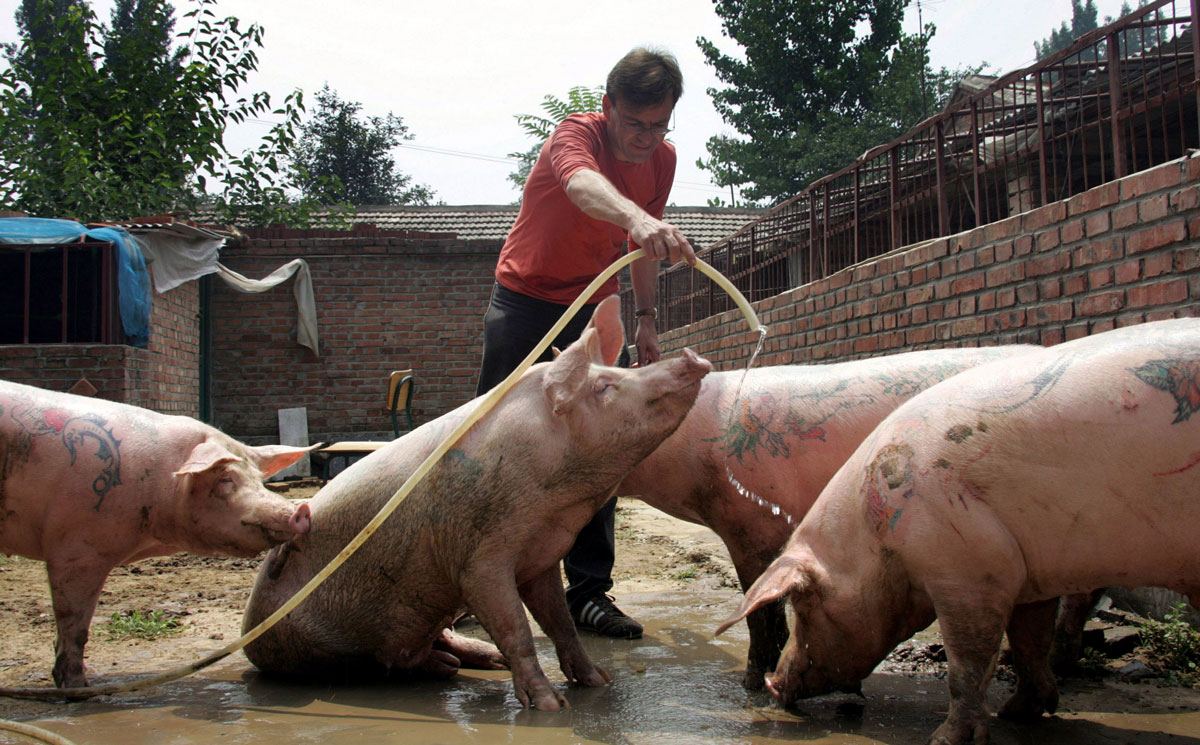 Delvoye with his pigs.