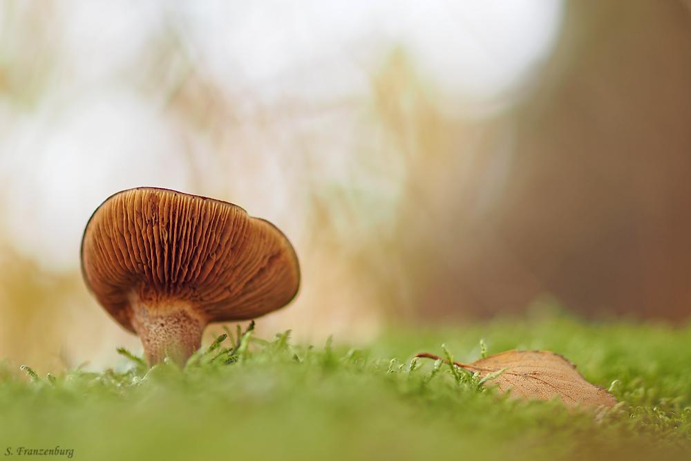 Mushroom-lamella.jpg