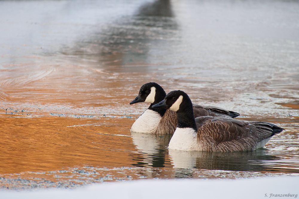 Branta canadiensis