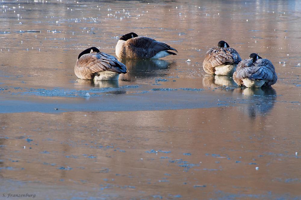 Freezing Canada Geese